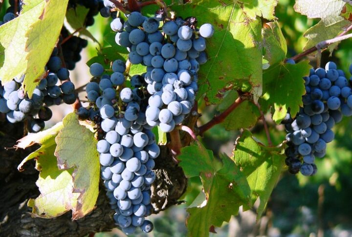 Wino na tapecie: Brindisi DOP